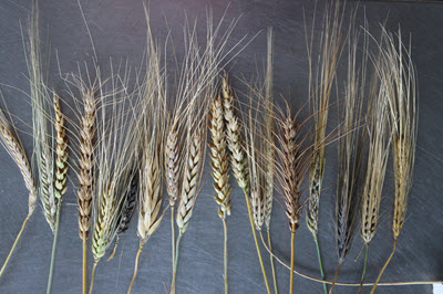 wheat varieties