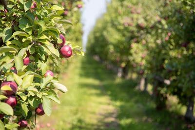 apple orchard in summer