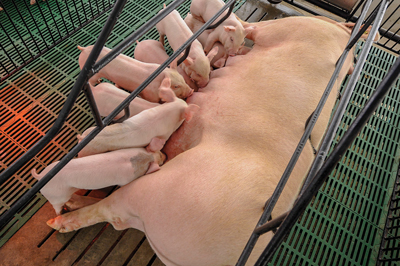 sow & piglets